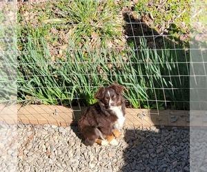Mother of the Australian Shepherd puppies born on 11/08/2020