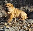 Chinese Shar-Pei Puppy For Sale in CRETE, NE, USA