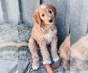 Irish Doodle Puppy for Sale in TENINO, Washington USA