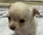 Small Photo #5 Chihuahua Puppy For Sale in NEVADA, TX, USA