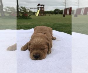 Golden Retriever Dog for Adoption in HONEY GROVE, Texas USA