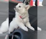 Small #1 American Eskimo Dog