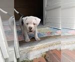 Small #20 American Bulldog