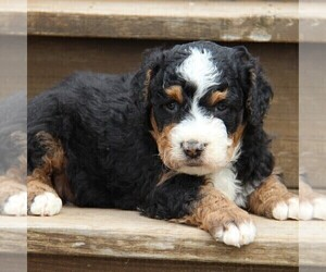 Bernedoodle Puppy for sale in STANLEY, WI, USA