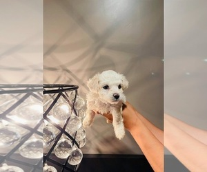 Maltipoo Puppy for Sale in CITIBANK, Nevada USA