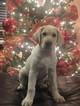 Labrador Retriever Puppy For Sale in SPRINGDALE, AR, USA