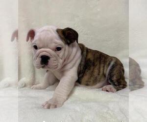 English Bulldog Puppy for sale in CHARLESTON, SC, USA