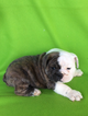 English Bulldogge Puppy For Sale in EPHRATA, PA, USA