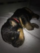 Rottweiler Puppy For Sale in LIBERTY, Missouri,