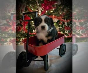 Miniature Australian Shepherd Puppy for sale in ZEBULON, NC, USA