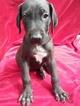 Great Dane Puppy For Sale in MURRAY, Kentucky,