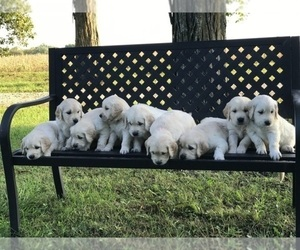 Golden Retriever Puppy for Sale in COLLINS, Iowa USA