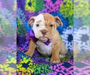 English Bulldog Puppy for sale in COCHRANVILLE, PA, USA