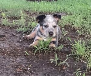Medium Australian Cattle Dog