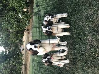 Saint Bernard Puppy For Sale in LINDEN, CA, USA