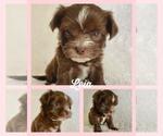 Puppy 6 Morkie