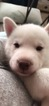 Siberian Husky Puppy For Sale in HOUSTON, TX, USA