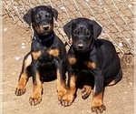 Small #17 Doberman Pinscher