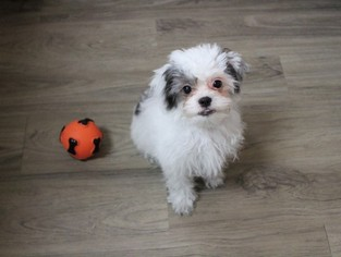 Zuchon Puppy For Sale in MURRIETA, CA