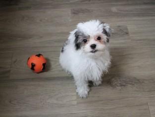 Zuchon Puppy For Sale in MURRIETA, CA, USA