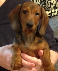 Dachshund Puppy For Sale in MOBILE, AL, USA