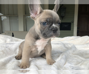 French Bulldog Puppy for Sale in GRETNA, Louisiana USA
