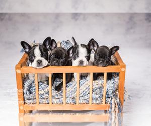French Bulldog Puppy for sale in HAMMOND, LA, USA