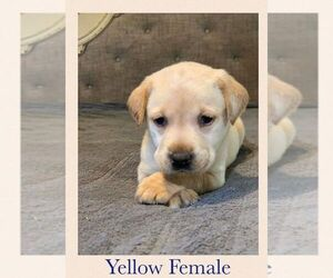 Labrador Retriever Puppy for sale in LEXINGTON, KY, USA