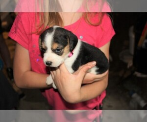 Beagle Puppy for sale in LINDEN, PA, USA