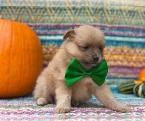 Pomeranian Puppy for sale in LANCASTER, PA, USA
