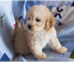 Goldendoodle Dog for Adoption in MILWAUKEE, Wisconsin USA