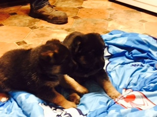 German Shepherd Dog Puppy For Sale in VERNDALE, MN