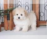 Dot Female Maltipoo Puppy