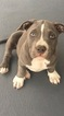 American Bully Puppy For Sale in ENGLEWOOD, CO, USA