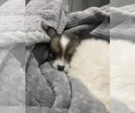 Small #11 Cardigan Welsh Corgi-Pomeranian Mix