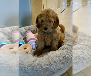 Goldendoodle Puppy for sale in CARROLLTON, TX, USA