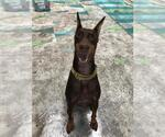 Small #12 Doberman Pinscher
