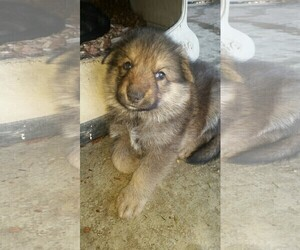 German Shepherd Dog Puppy for Sale in ELBERTON, Georgia USA