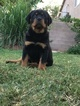 Rottweiler Puppy For Sale in LAS VEGAS, NV, USA