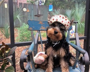 View Ad Yorkshire Terrier Puppy For Sale Florida Pensacola Usa
