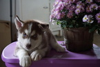Siberian Husky For Sale Male Snickers