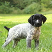 German Shorthaired Pointer Puppy For Sale in GAP, PA, USA