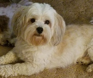 Father of the Havanese puppies born on 01/14/2020
