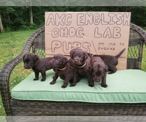 Labrador Retriever Puppy for Sale in CULPEPER, Virginia USA