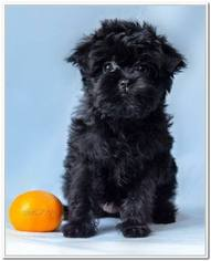 Affenpinscher Puppy for sale in ORMOND BEACH, FL, USA