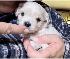 ShihPoo Puppy for Sale in BAYPORT, Minnesota USA