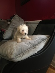 Maltipoo Puppy For Sale in ROCKY MOUNT, NC