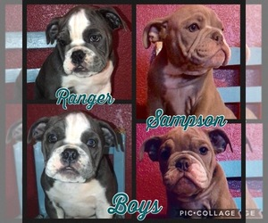 English Bulldog Puppy for sale in ERIN SPRINGS, OK, USA