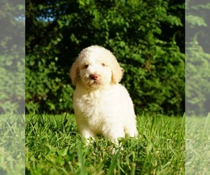 Labradoodle-Poodle (Standard) Mix Puppy for Sale in WARSAW, Indiana USA