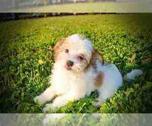 View Ad: Havanese Puppy for Sale near Missouri, MARSHFIELD